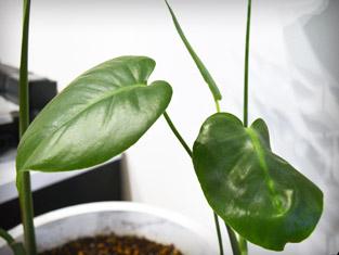 観葉植物②