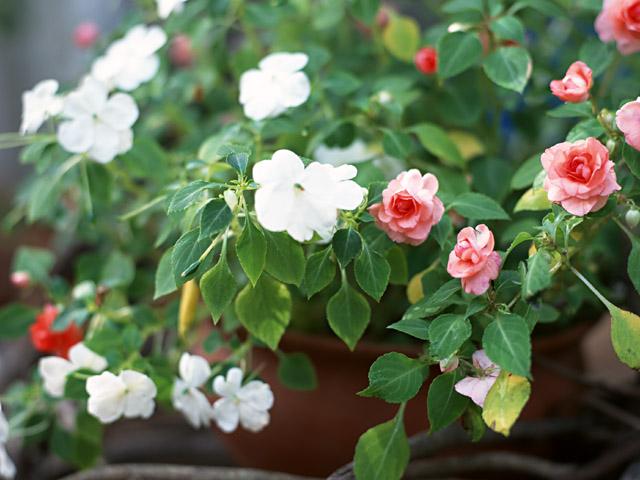 植物バラ写真撮影